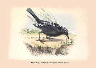 QUISCALUS CRASSIROSTRIS - Greater Antillean Grackle